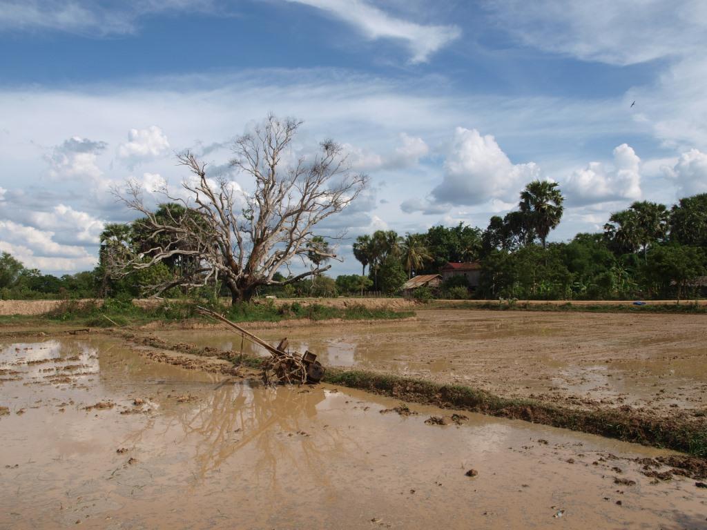 Rizières labourées - Cambodge