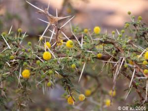 Fleur d'acacia - Mauritanie