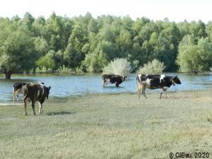 Elevage en prairie lacustre