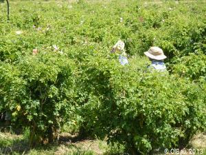 Cueillette des roses