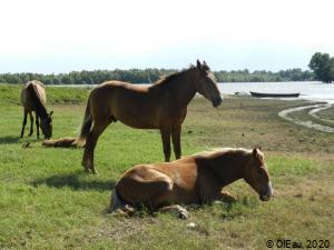 Chevaux prairie lacustre