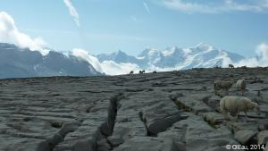 Moutons au Mont Blanc